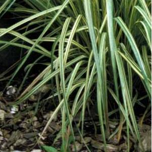 Molinia caerula 'Variegata'