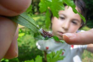 Insektæg på blad